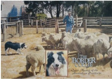 Australian Heritage Series Border Collie Dog & Sheep Farm Tin Sign